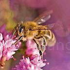 Foto: Honigbiene Lüneburger Heide