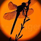 Foto: Libelle im Sonnenaufgang Lüneburger Heide